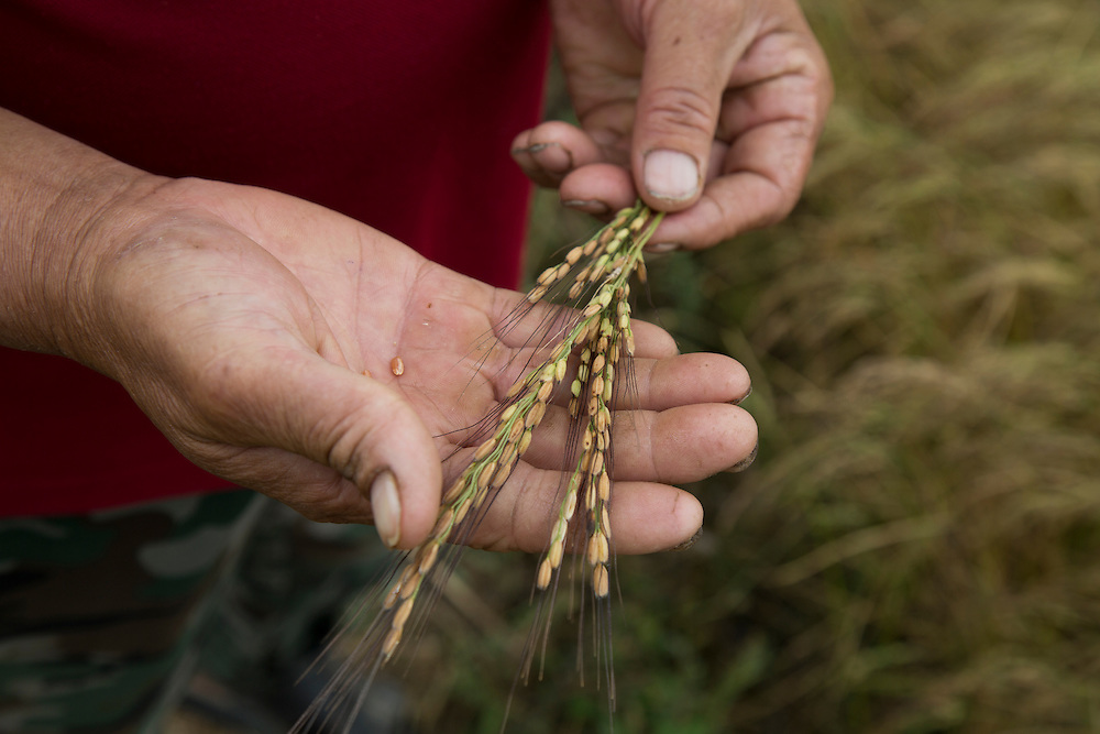 A farmer holds a sheaf of rice near the town of Uzgen, near Osh. The area was implicated in an ethnic pogrom by Kyrgyz gangs against Uzbeks in 1990 and 2010. The riots left hundreds, and maybe thousands, dead and tens of thousands displaced. Climate change in Kyrgyzstan is affecting cross border water rights in the already ethnically divided Fergana Valley, all while glaciers melt in the Tian Shan Mountains. Tensions are rising as different groups compete for scarcer and scarcer resources.