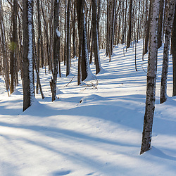 Tree trunks and shadows on a snow in the forest on Indian Hill in West Newbury, Massachusetts.