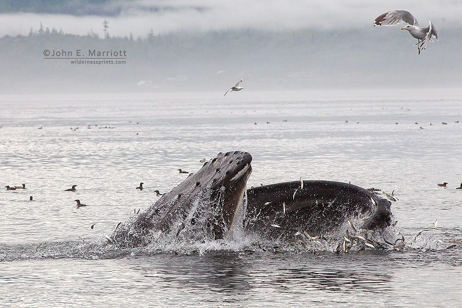 Humpback whale feeding on the west coast of British Columbia, Canada