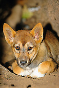 Dingo (Canis lupus dingo) pup hiding in a tree hollow in the remote Southern Greater Blue Mountains world heritage area.