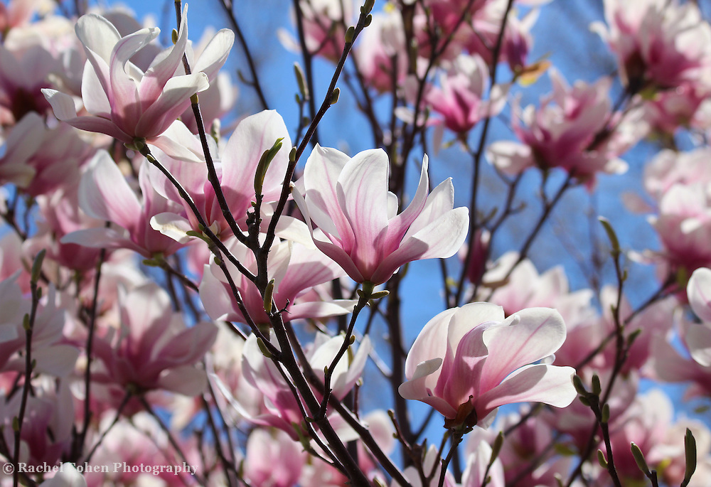 &quot;Tulip Magnolia&quot; 2<br />