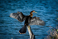 The Anhinga (Anhinga anhinga), sometimes called snakebird, darter, American darter, or water turkey, is a water bird of the warmer parts of the Americas.