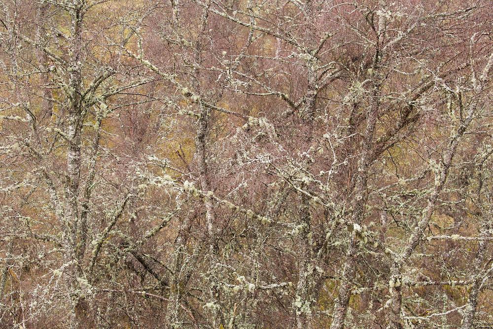 Section of birch woodland (Betula pendula) in late winter, Scotland
