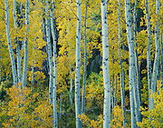 Yellow aspens, Lee Vining Canyon, Inyo National Forest, California