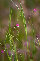 Grass vetchling. Lathyrus nissolia