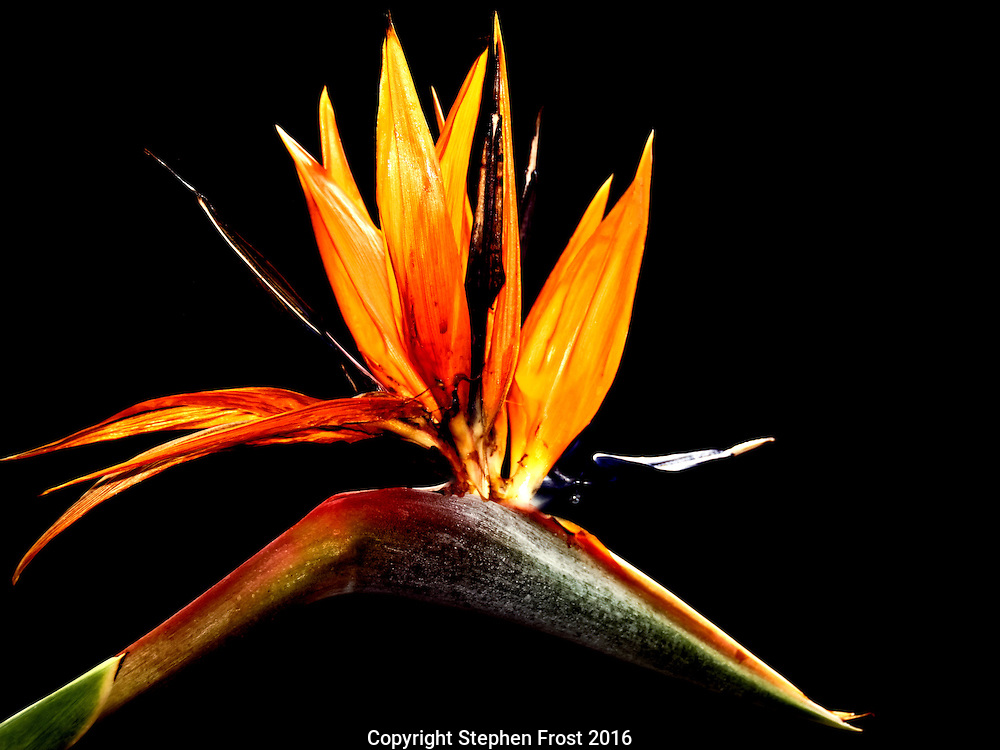 Strelitzia reginae is a flowering plant indigenous to South Africa. Common names include Strelitzia, Crane Flower or Bird of Paradise.