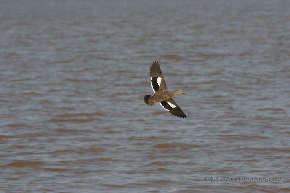 Bernier's Teal, Anas bernieri, in flight, Betsiboka, Madagascar, by Adam Riley