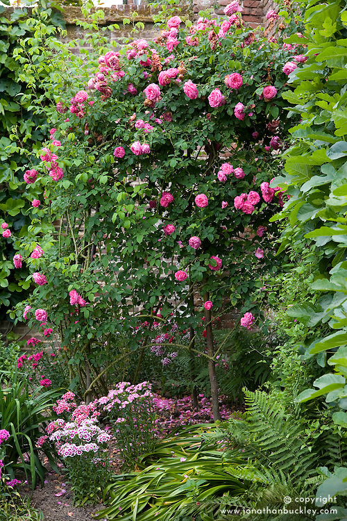 Rosa 'Paul Ricault' flowering in a corner of the Rose Garden at Sissinghurst Castle