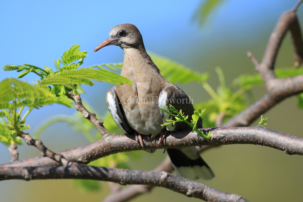 White-winged Dove (Zenaida asiatica). Conchal, Guanacaste, Costa Rica. <br />