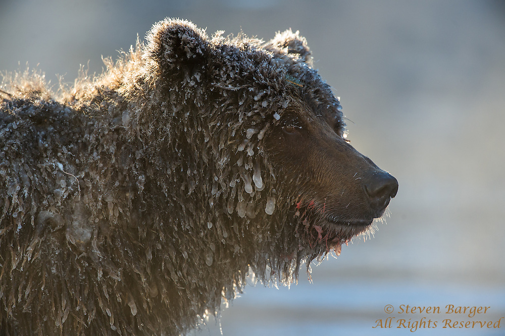 Profile headshot of ice-covered grizzly bear on the Fishing Branch River at the base of Bear Cave Mountain in the Yukon Territory Canada.