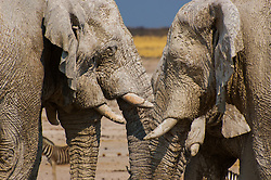 Elephants at Ethosha National Park, Namibia.  Their brilliant white coating is from the white mineral-rich clay that is everywhere at Etosha.
