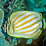 Ornate Butterflyfish inhabit reefs. Picture taken Palau.