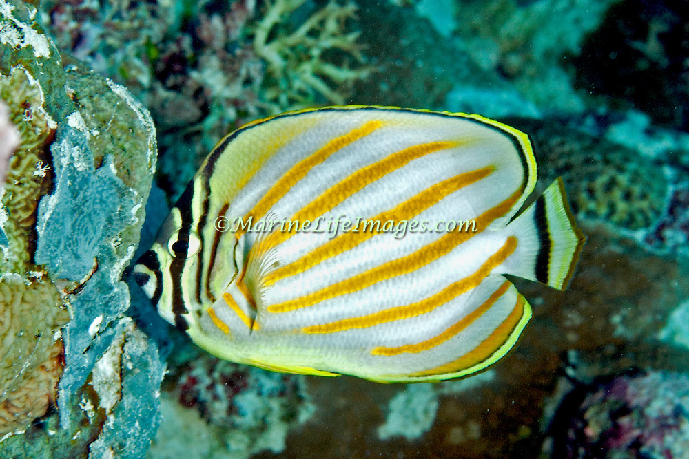Ornate Butterflyfish inhabit reefs. Picture taken Palau.