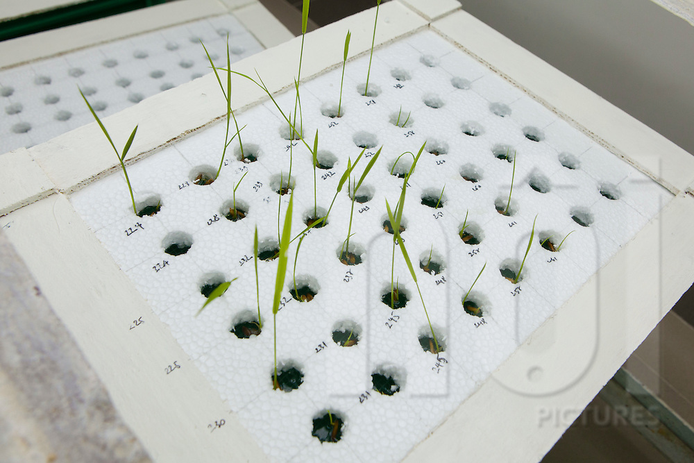 Rice grows through a styrofoam plate for genomics research at LMI RICE Laboratory, Agricultural Genetics Institute, Pham Van Dong Street, Hanoi, Vietnam, Southeast Asia