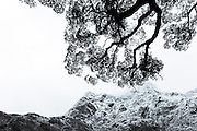 A silhouette of a beech tree hangs over a snow-packed Mount Balloon, along the Milford Track.  Fiordland, New Zealand.