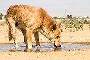 Brown dog drinks water from a puddle in the desert