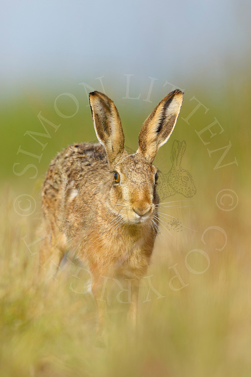 European Hare (Lepus europaeus) adult running in margin alongside farmland track, South Norfolk, UK. July.