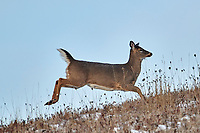 White-tailed Deer (Odocoileus virginianus)  Cherry Hill, Nova Scotia, Canada,