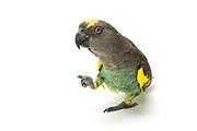 Meyer's Parrot (Poicephalus meyeri). Kiwi has a unique mannerism in which she lifts and rolls her foot inward, making it look like a fist. If another parrot, large or small, tries to invade her favorite play area, she will chase them down and show that fist as they retreat.