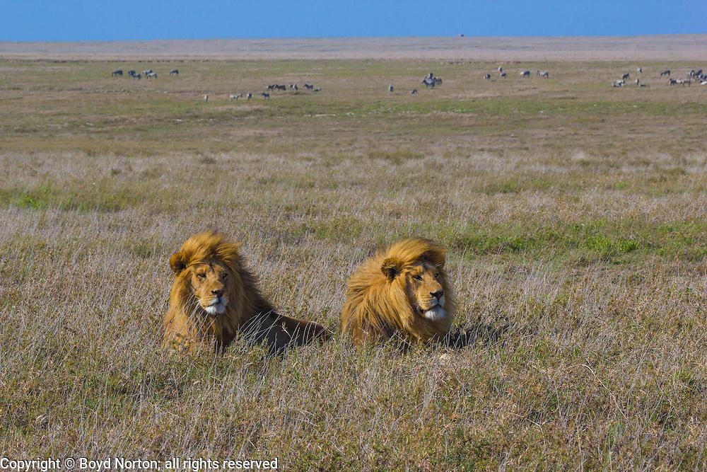 Male lions and nervous zebras,  Serengeti National Park, Tanzania.