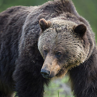 grizzly bear in habitat, north american, lower 48 inland grizzly