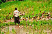 Apr. 21 - UBUD, BALI, INDONESIA: Farmers tend to their ducks in a rice paddy in Ubud, Bali. Many rice farmers in Bali keep ducks in their paddies.  Photo by Jack Kurtz/ZUMA Press