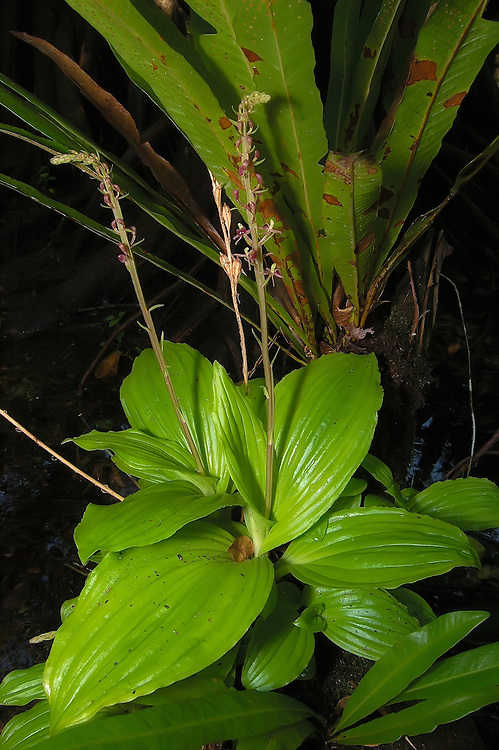 Tall twayblade orchid found in the wettest part of the Fakahatchee Strand. In the hottest and most miserable part of summer, these beauties can be found quite easily!