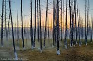Mineralized trees, Yellowstone National Park, Wyoming/Montana.