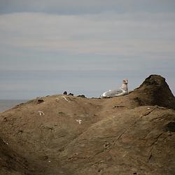 Seagull on Eroded Sandstone Sea Stacks, Kalaloch Beach 4, Olympic National Park, Washington, US