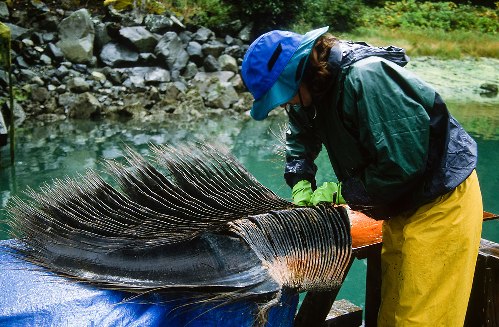 Alaska. Glacier Bay NP. A national park service employee cleans baleen from a humpback whale that was killed by a ship collision.
