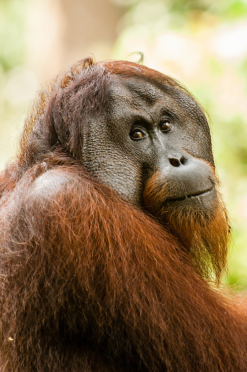 A portrait of Gintak, the eighteen-year old male orangutan (Pongo pygmaeus) at Sepilok Rehabilitation Centre, Sabah, Malaysia