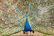 A blue peacock with open feathers