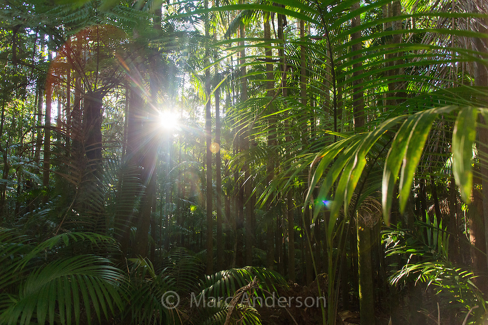 Palm trees in lush subtropical rainforest, Nightcap National Park, NSW, Australia