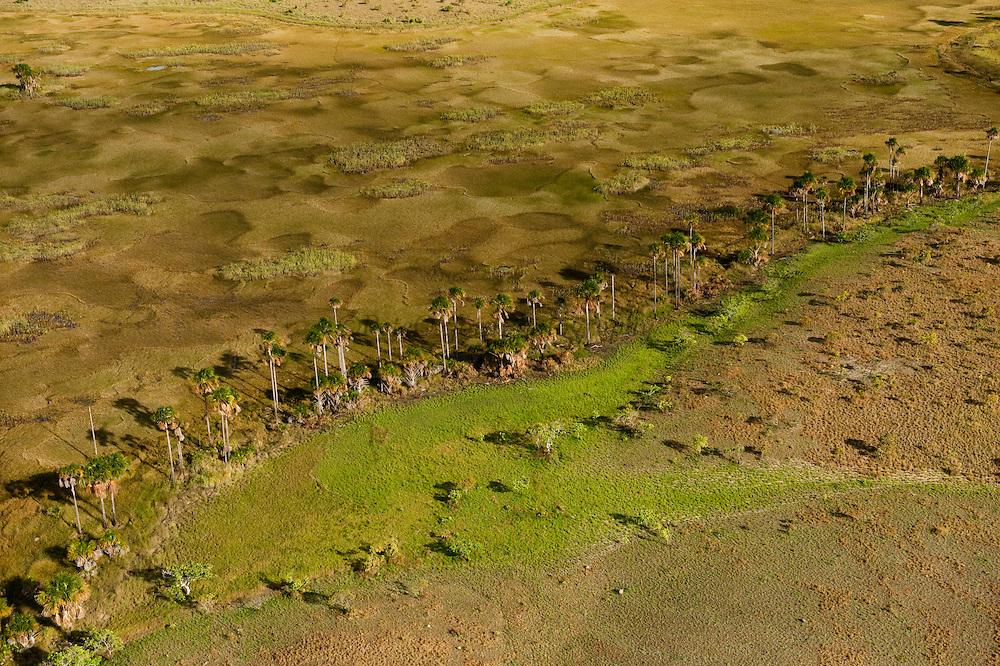 Mauritia Palm (Mauritia flexuosa)<br /> Aerial views over Savannah<br /> Rupununi<br /> GUYANA<br /> South America<br /> INDIGENOUS TO GUIANAS