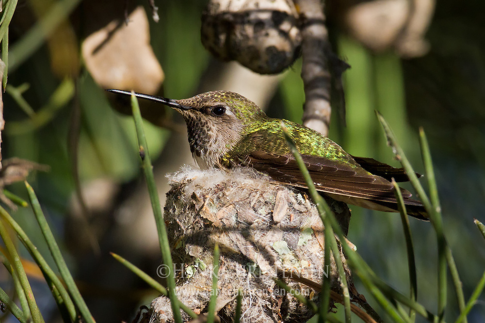 An anna's hummingbird sits on top of its nest, incubating young chicks