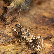 "Acanthaspis inermis - Assassin Bug (Acanthaspis sp., Reduviidae). Reduviidae (from the contained genus, Reduvius, which comes from the Latin reduvia, meaning ""hangnail"" or ""remnant"") is a family of predatory insects in the suborder Heteroptera."