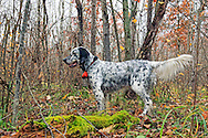An English setter points a woodcock during a northern Wisconsin hunt.