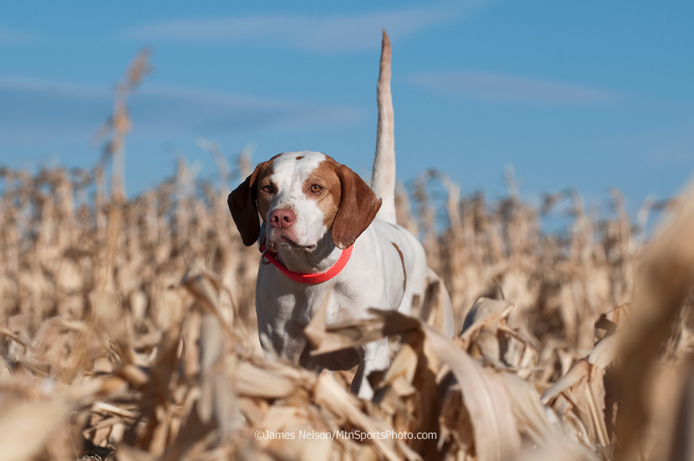 An English pointer on point in a corn field in east Idaho.