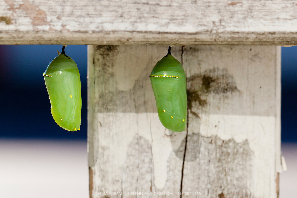 The green cocoon or chrysalis of a Monarch butterfly attached to the underside of a fence rail. (Danaus plexippus)