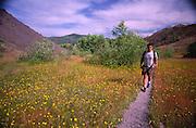 Hiker and Hairy Cat's Ear (Hypochaeris radicata), Hummocks Trail, Mt. St. Helens National Volcanic Monument, Washington, US, July 2004