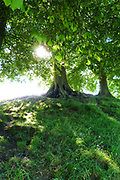 Early morning sunlight breaks through Beech trees on the perimeter bank of Avebury Stone Circle in Wiltshire on Midsummer's Day.<br />