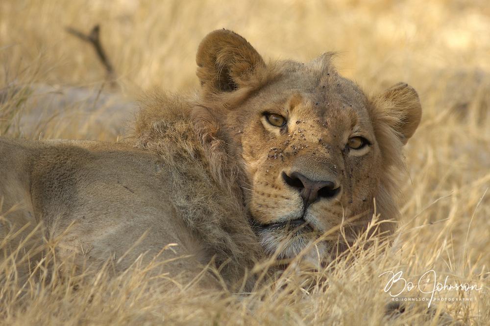 Resting male lion (Panthera leo).<br /> The Xakanaxa side of Moremi in the Okavango Delta, Botswana. <br /> September 2007.