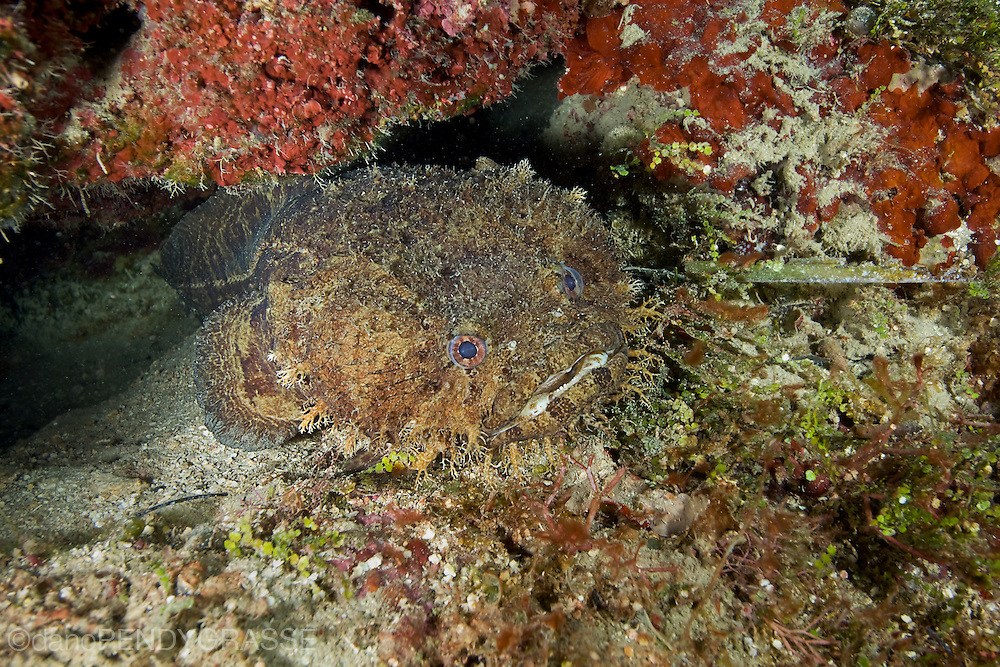 A Large eye toadfish ( Batrachoides gilberti )huddles in a favourite crevice in the reef.
