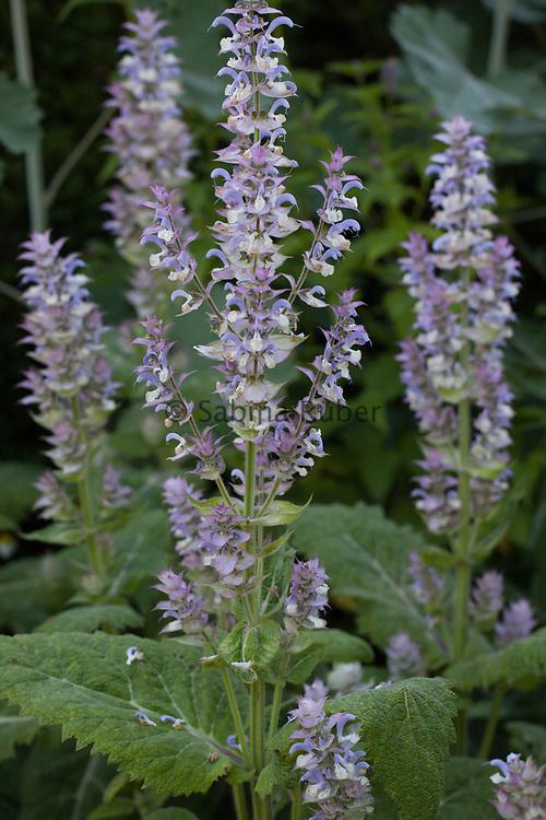 Salvia sclarea var. turkestanica - clary sage