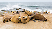 a group of Sea Lions basking in the sun on the rocks at La Jolla Cove, La Jolla, San Diego, California, USA