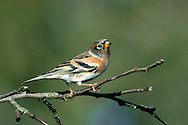 Brambling Fringilla montifringilla L 14-15cm. Distinctive finch with white rump. Sexes are dissimilar. Adult male in winter has orange throat, breast and lesser wing coverts; underparts are white with small dark spots on flanks. Head and back are darkish but with pale feather fringes. Dark wings have pale feather margins and whitish orange wingbars. Bill is yellow. In breeding plumage (sometimes acquired here) head, back and bill are black. Adult female has similar markings to winter male on wings, breast and underparts but head is grey brown with dark lines on sides. Juveniles are similar to winter adults but duller. Voice Calls include a harsh eeerrp. Song is series of buzzing notes. Status Mainly a common winter visitor, found mainly in mature Beech woodland. A few pairs breed.