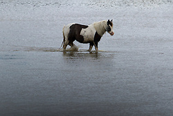 © London News Pictures. 29/04/2012. Stapleford Abbotts, UK. A Horse wading through flood water on farm land near Stapleford Abbotts in Essex, UK on April 29, 2012 following heavy rainfall. Photo credit : Ben Cawthra /LNP