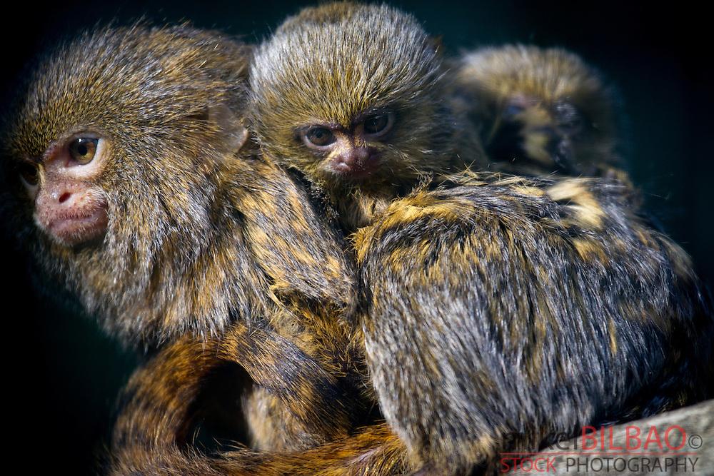 pygmy marmoset or dwarf monkey (Callithrix pygmaea).