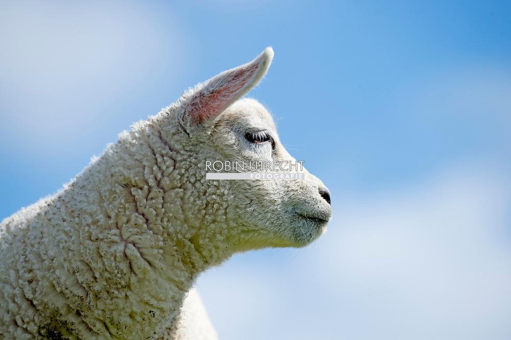 TEXEL - schaap , grazen lammetje  lammetjes , dier , dieren , lente wei . COPYRIGHT ROBIN UTRECHT