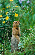 Alaska . Denali National Park . Arctic ground squirrel (Spermophillus perryii) with cinquefoil flowers in background .
